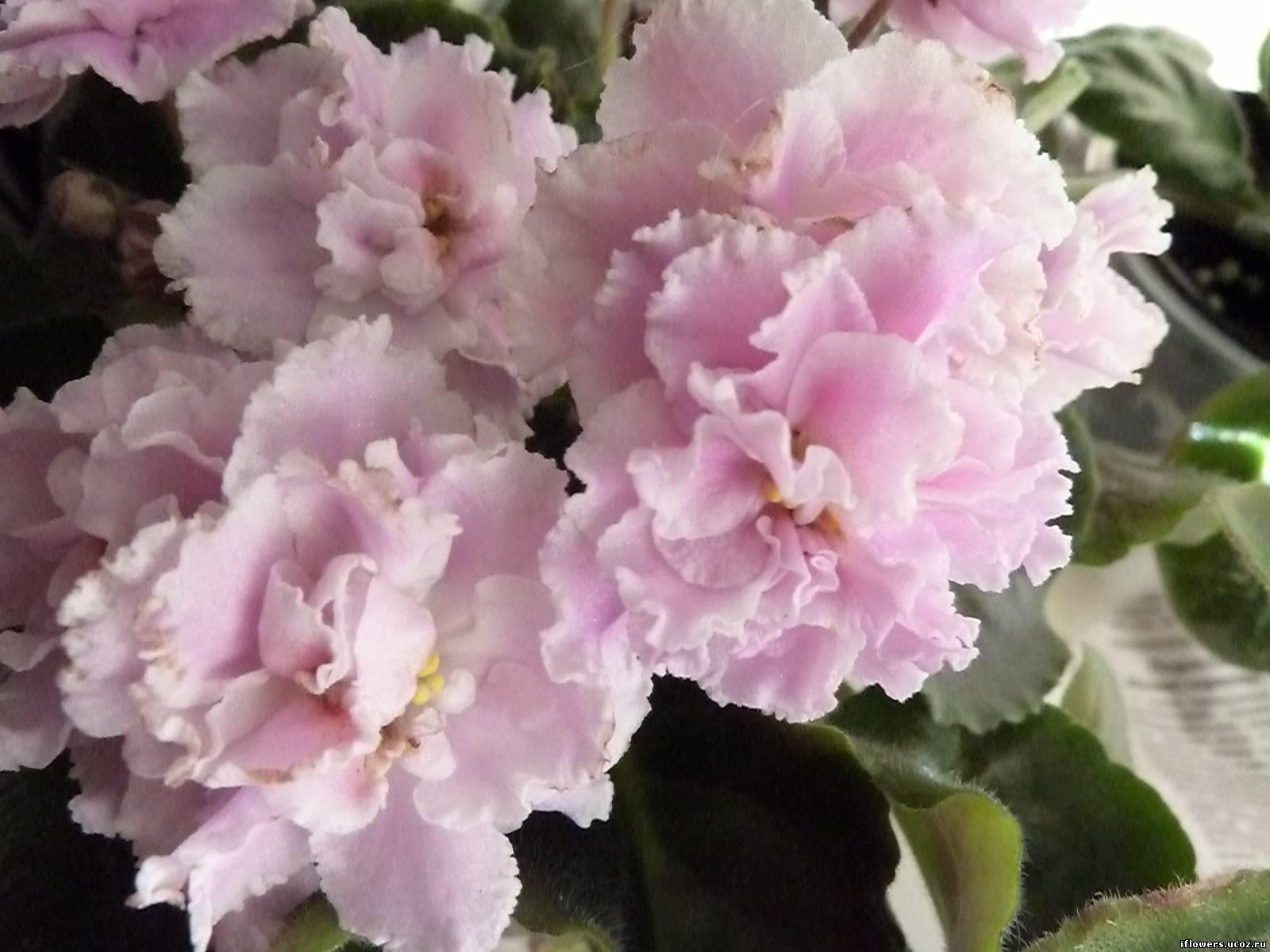 мужских нежно розовая фиалка фото викторианской